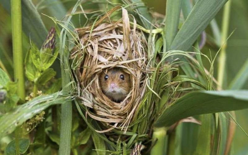 Souris des champs dans un nid de paille
